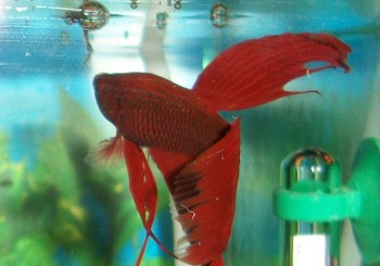 Bright red Betta fish.
