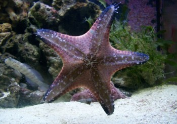 Chocolate Chip Star Fish