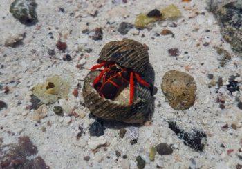Scarlet Reef Hermit